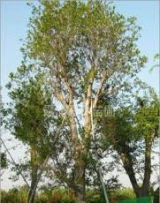 朴树价格,朴树*新价格,朴树基地优价直销朴树体高大,树形优美
