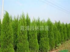 *新蜀桧价格,南京1.5米蜀桧价格,2米蜀桧价格,蜀桧小树苗