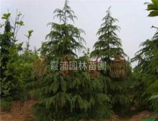 2013年 雪松小苗价格表 雪松树苗价格动态 8米雪松树价格