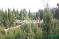 1.8米蜀檜價格 2米蜀檜價格 2.5米蜀檜價格