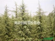 H4米雪松價格90元(P2米,4高度雪松價格)-南京創新雪松