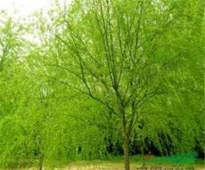 供应金丝垂柳、黄皮柳、八月桂、罗汉松、黑松苗木