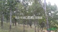 自產自銷20公分-35公分杜仲價格 南京杜仲產地