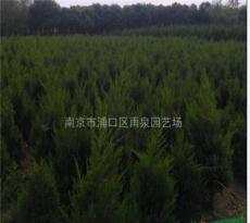 南京蜀桧基地,80公分蜀桧苗圃苗价格。
