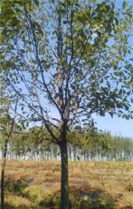 江苏白玉兰产地供应10公分白玉兰树价格报价。