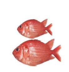將軍甲魚海捕金鱗魚 紅燈魚 兵魚刺身生魚片 海鮮水產批發供應