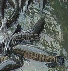 黑鱼苗供应,成品黑鱼供应,乌鳢苗,乌鱼苗微山湖山东黑鱼