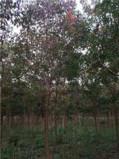 上海重阳木