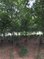 榉树3图片\榉树3报价