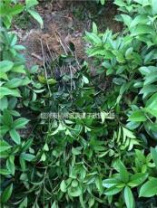 精品桂花小苗 高度35厘米以上