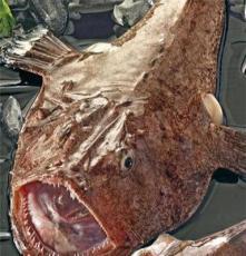 鲜活安康鱼 东海野生安康鱼 新鲜海鲜 蛤蟆鱼 非冰冻 当天海捕