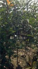 紅葉石楠小球,獨桿紅葉石楠,紅葉石楠供應,紅葉石楠價格