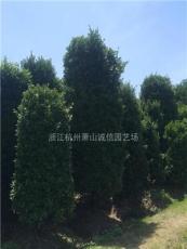 浙江供应大叶黄杨柱40~1.8米,金边黄杨柱子、金叶女贞柱子