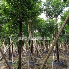 福建漳州供应秋枫树 秋枫大型种植场 秋枫工程绿化苗木