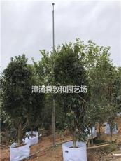 漳州桂花苗木基地 金桂 丹桂