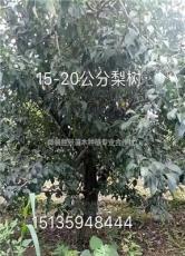 大梨树价格·15公分大梨树·18公分大梨树·20公分大梨树价
