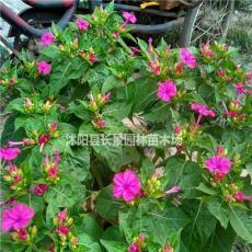 紫茉莉种子批发  紫茉莉种子一斤多少钱 全国包邮