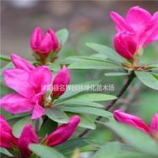 大量供應春鵑 春鵑小苗 各種規格品種齊全