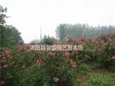 海南紫薇樹在哪里買?