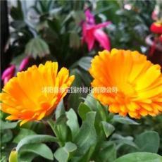 金盏菊种子播种一平方要多少克?