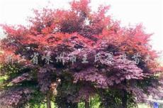 紅楓 日本紅楓,美國紅楓,三季紅楓,常年紅楓