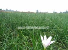 葱兰白花红花出售 葱兰地苗