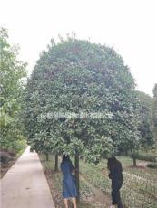 丹桂10-13公分基地苗木出售  开花率好 冠幅齐整