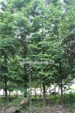 14公分精品水杉.買水杉到四川千蜀園林.貴州水杉基地