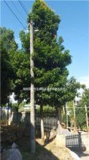 10——12公分金絲楠木價格,低價供應金絲楠木大樹