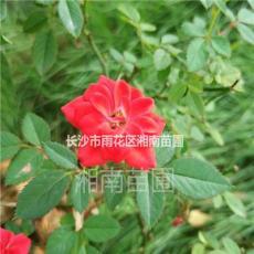 各季節時花,景觀花,月季花,杜鵑,紫薇等