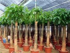 發財樹:室內盆景:米徑7-15公分,小盆栽,自產自銷