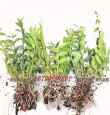 武漢鐵皮石斛苗盆栽苗大苗銷售
