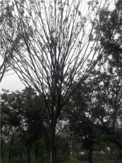 櫸樹22公分