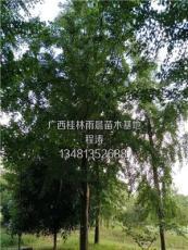 銀杏樹22供應/銀杏樹22圖片