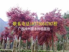 紅楓4-6公分8-9公分10-25公分