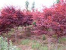 美國紅楓、全冠紅楓、紅楓*低價格、青楓、青楓小苗、柿子樹