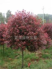 独杆红叶石楠价格是多少?南京绿化苗木基地提供红叶石楠报价表