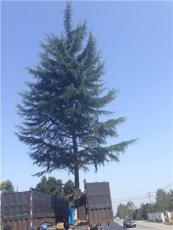 南京雪松种植基地·雪松规格齐全