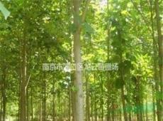 長期供應雜交馬褂木15公分-20公分低價銷售 南京馬褂木產地
