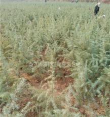 江苏雪松苗圃供应80公分雪松小苗价格报价。