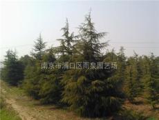 南京5米雪松树,汤泉镇高度5米雪松树价格信息。