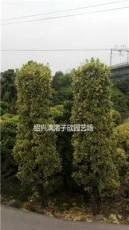 精品造型金边黄杨柱子  冠副60厘米至1.5米