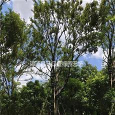 基地直销朴树 批发朴树 各种规格齐全 大量供应朴树地苗