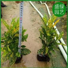 变叶木栽培技术 漳州变叶木 福建变叶木 变叶木价格