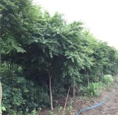吉林有种植鸡爪槭的基地吗?