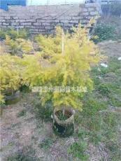 福建黃金寶樹行情報價/福建黃金寶樹圖片展示