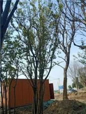 叢生樸樹3-6個分支有需要的可以聯系我