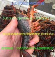杭州龙虾苗今日小龙虾苗价格
