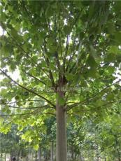 15一20公分二年帽法桐,樹形好,綠化工程苗木