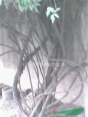 凌霄,梨树,石榴,臭椿,竹子,银杏